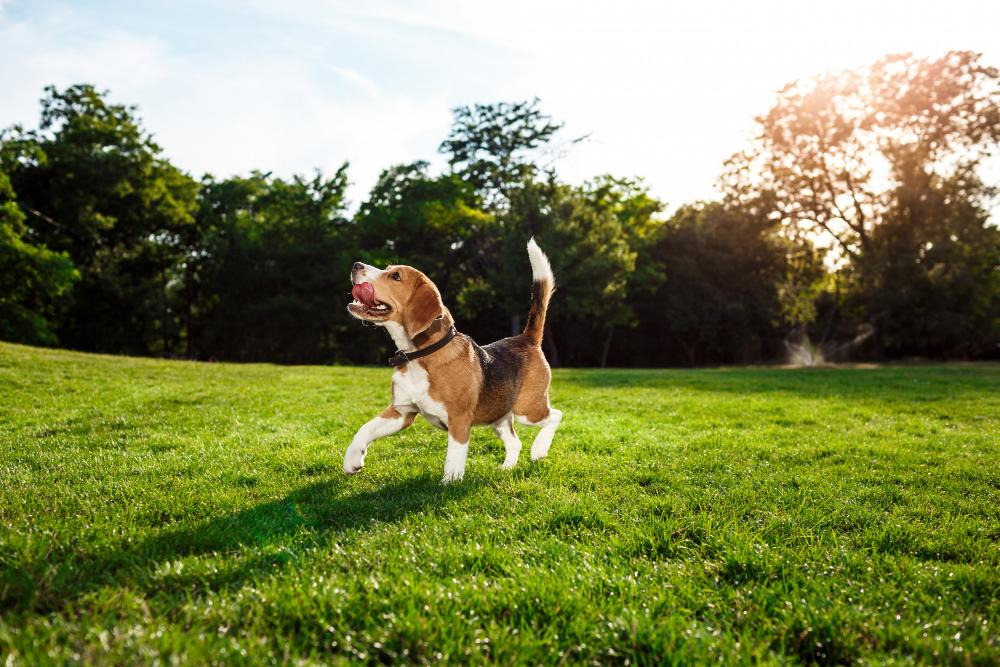 CBD Dieren, Happy Dog